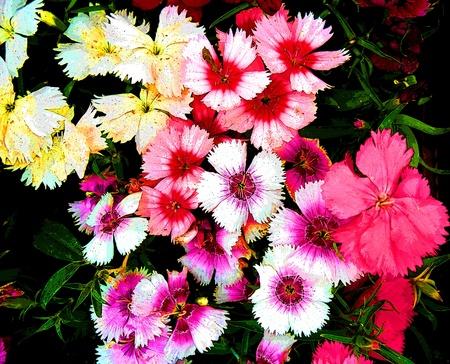 Garden of flowers. Clavellina. Impressionism. Stock Photo - 9329121