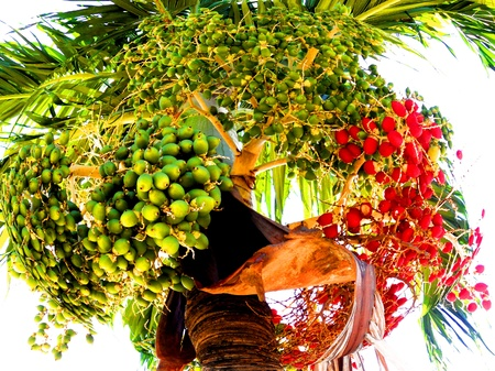 Betel nut palm. Fruits. Natural colors. photo