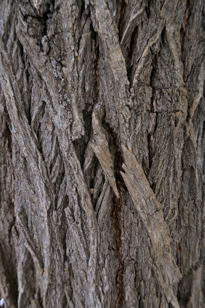 arbol alamo: Vertical close-up of poplar tree grey bark with deep cracks and rough structure surface. Natural texture background concept