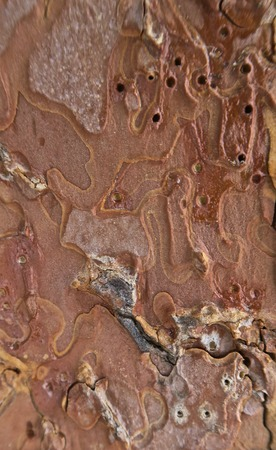 Close-up macro shot of brown bark of pine tree rough structure with holes from vermins. Natural texture background