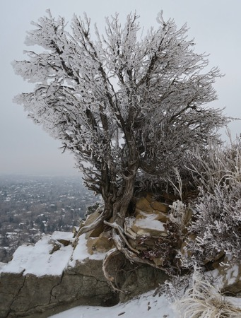 Tree covered with frost in winter growing on rocks high in mountains, on cloudy day Banco de Imagens