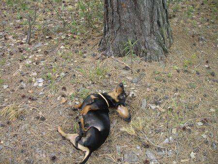 A black and brown Dachshund is lying on its back on the ground in the forest. the ground is covered with fallen pine needles and cones, branches, grass. next to it is a pine trunk with brown textured bark. Banque d'images