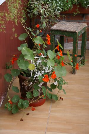 on the balcony there is a flower garden, there is a large decorative pot with orange nasturtiums, green branches of plants hang from the wall. next to it is an old wooden green stool