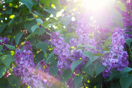 the suns rays make their way through the beautifully blooming lilac bush. close-up.