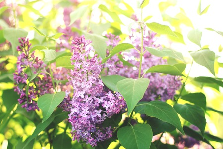 beautiful branch of lilac close up in the suns rays.