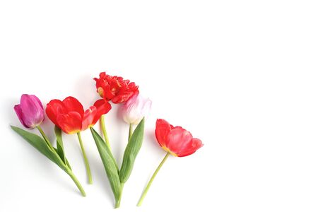 Tulip flowers in red , lilac and pale pink on a white background. beautiful spring composition with space for text, flat lay.