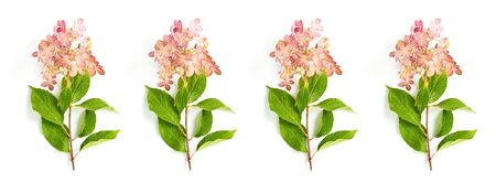 pattern of hydrangea flowers on a white background. autumn concept, simple flat layout
