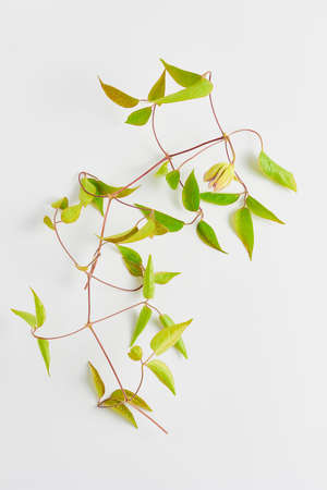 minimalistic floral concept. beautiful of climbing clematis flowers and leaf green on a white background. flat lay, top view. Stock Photo