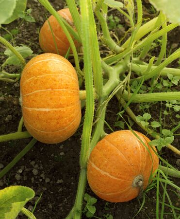 Pumpkin plants with rich harvest on a field ready to be harvested. Big orange pumpkins growing in the garden. Autumn. Top view