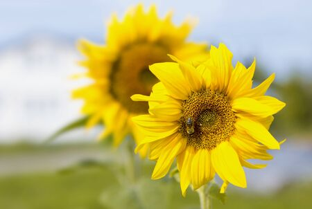 Poster agriculture. Blooming sunflowers in the bright sunny day. Blue sky. Close-up of sunflower. Field. Natural background