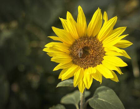 Poster agriculture. Blooming sunflower in the bright sunny day. Blue sky. Close-up of sunflower. Field. Bee, honeybee. Natural background