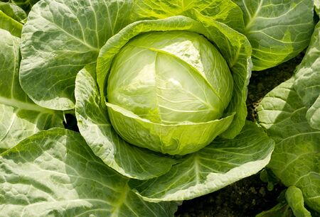 Agriculture. White cabbage head grow in the garden. Healthy and healthy food for humans. Top view. Field. Close-up. Summer background 스톡 콘텐츠