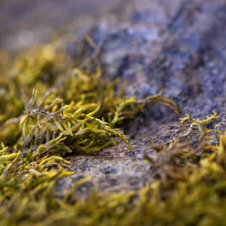 Beautiful green moss on the floor. Macro foto. Texture Closeup. Background of moss and stone for wallpaper. Mossy granite. Northern nature. Autumn-spring. Antarctic plants
