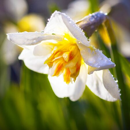 Narcissus flower. Macro photography. Green grass. Close up. Sunshine. Floral background