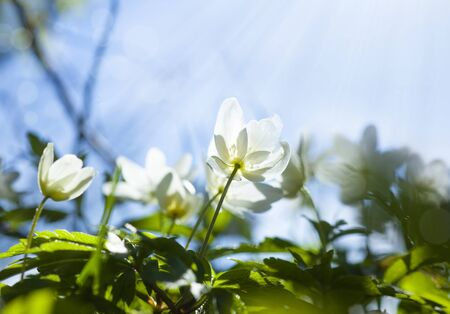 White flowers. Anemone. Close up. Macro shot. Primroses. Spring forest. Floral background. Sun.