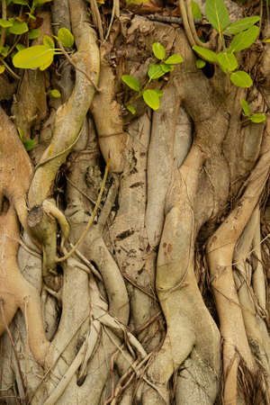 Huge roots and trunks of the banyan tree in the Maldives