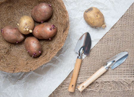 Planting potato tubers. Fresh potatoes and shovel on brown burlap background. Flat lay, upper view. Spring preparations for garden season.