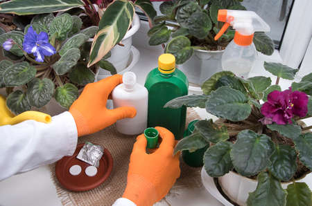 Indoor flowers, bottles with agent against plant diseases and sprayer on windowsill. Woman processing potted plants against diseases, crop pests. Reklamní fotografie