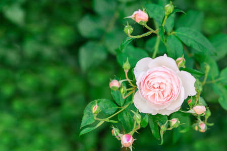 Charming pink English rose Austin in the garden with closed buds. High quality photo