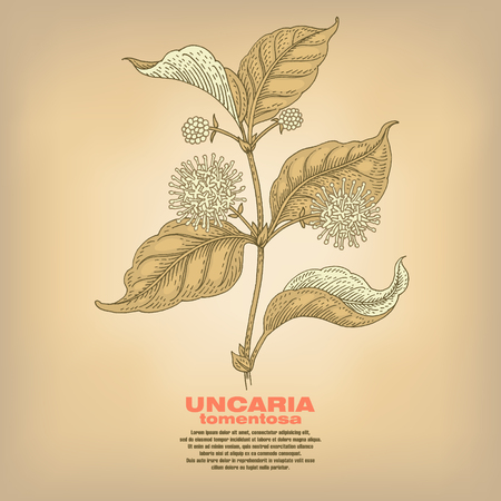 medicate: Uncaria tormentosa. Illustration of medical herbs. Isolated image on white background. Vector.