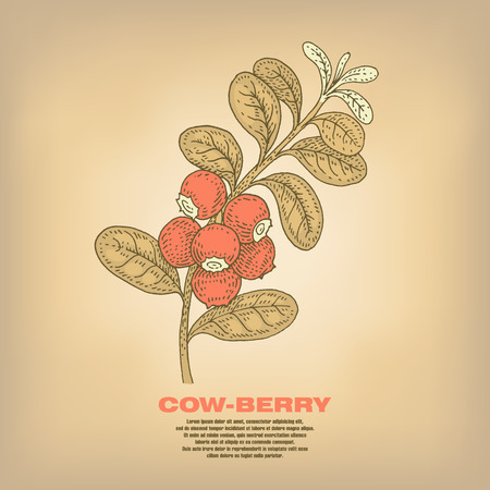 cowberry: Cow-berry. Illustration of medical herbs. Isolated image on white background. Vector.