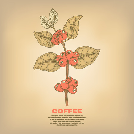 Coffee. Illustration branch plant with fruits. Isolated image on white background. Vector.