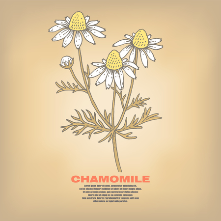 Chamomile. Illustration of medical herbs. Isolated image on white background. Vector.