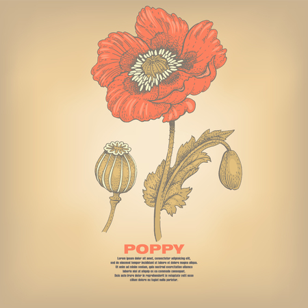opiate: Poppy. Illustration of medical herbs. Isolated image on vintage background. Vector. Illustration
