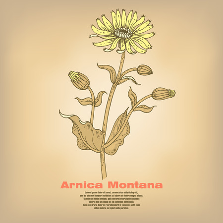 Arnica Montana. Illustration of medical herbs. Isolated image on white background. Vector. Ilustrace