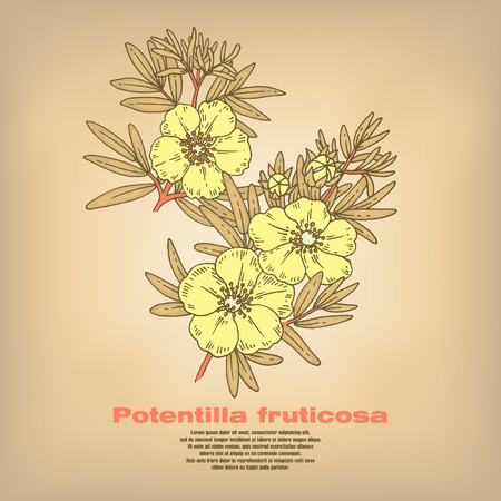 Potentilla fruticosa. Illustration of medical herbs. Isolated image on white background. Vector.