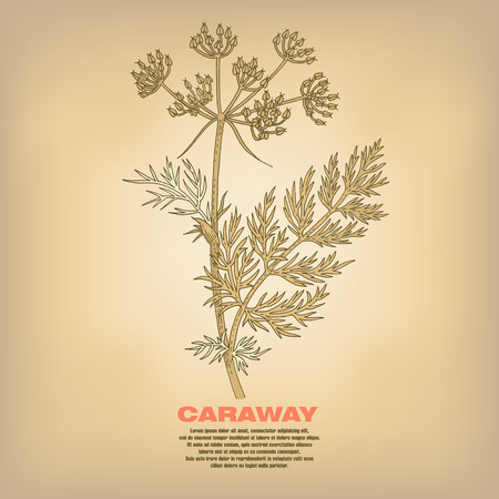 Caraway. Illustration of medical herbs. Isolated image on white background. Vector.