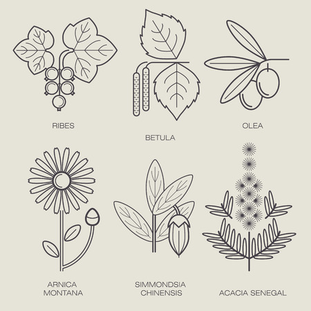 arnica: Set vector icons medical herbs and plants. Plant currant, birch, plant olive tree, flower, arnica, jojoba plant, plant acacia. Healthy lifestyle concept. Design to create logo, labels, stickers, Web.