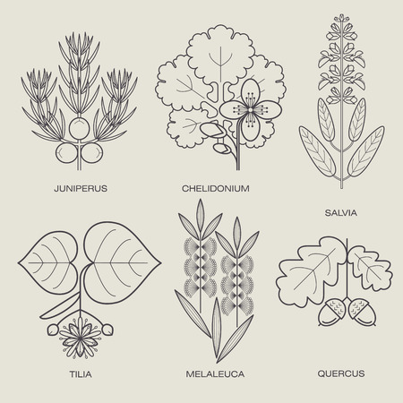 tea tree: Set of vector illustrations of various herbs. Icons of plants to create posters, logos, labels. Healthy lifestyle concept. The herb sage, celandine herbs, juniper, linden, oak, tea tree. Eco herbs.