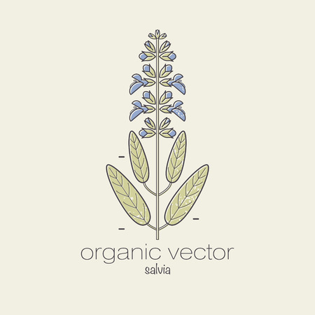salvia: Plant motifs. The plant salvia. Vector illustration of a plant used in cosmetics, medicine and cooking. The plant design for packaging, web, creation of goods and services. Modern style mono line.