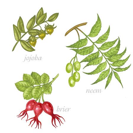 designation: Set of vector images of medicinal plants. Beauty and health. Jojoba, neem, brier. Illustration