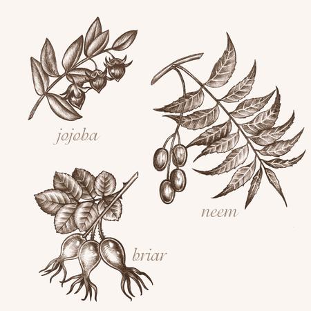 additives: Set of vector images of medicinal plants. Biological additives are. Healthy lifestyle. Jojoba, neem, briar. Illustration