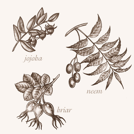 Set of vector images of medicinal plants. Biological additives are. Healthy lifestyle. Jojoba, neem, briar. Ilustrace