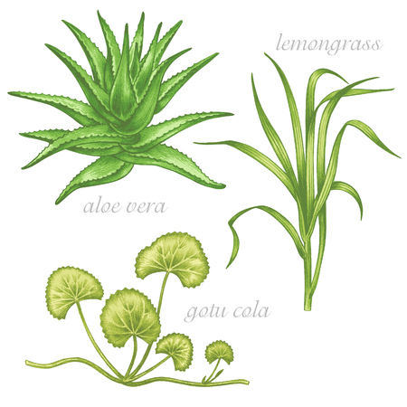 Set of vector images of medicinal plants. Beauty and health. Aloe vera, gotu cola, lemongrass. Illustration