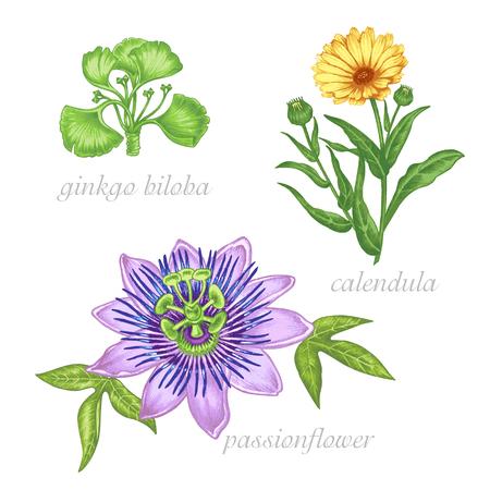 Un ensemble d'images vectorielles de plantes médicinales. Beauté et santé. Suppléments bio. Ginkgo biloba, passiflore, colendula.