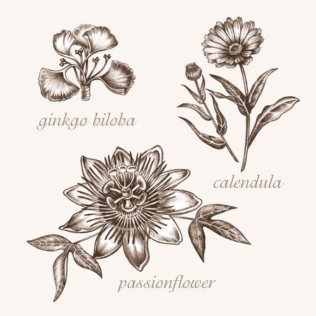 약 식물의 벡터 이미지 집합입니다. 생물학적 첨가제가 있습니다. 건강한 생활. 은행 나무 biloba, 금 송 화, passionflower입니다. 일러스트