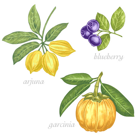 exotica: Set of vector images of medicinal plants. Beauty and health. Bio additives. Arjuna, blueberry, garcinia. Illustration