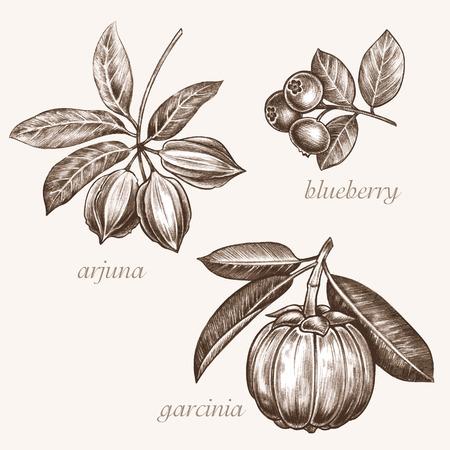 additives: Set of vector images of medicinal plants. Biological additives are. Healthy lifestyle. Arjuna, blueberry, garcinia.