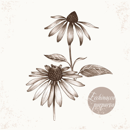 additives: Vector images of medicinal plants. Biological additives are. Healthy lifestyle. Echinacea purpurea. Illustration