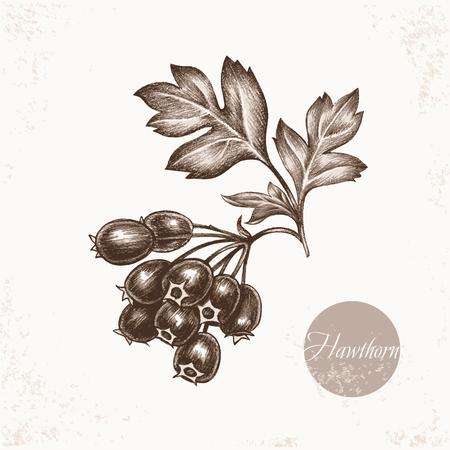Vector Bilder von Heilpflanzen. Biologische Additive sind. Gesunder Lebensstil. Hawthorn.