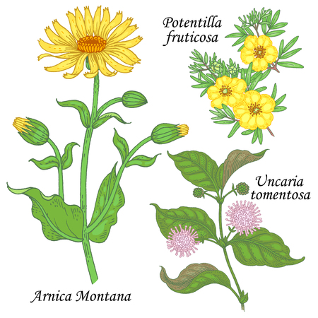 tomentosa: Arnica Montana, potentilla fruticosa, uncaria tomentosa. Set of plants and flowers for alternative medicine. Isolated image on white background. Vector illustration.