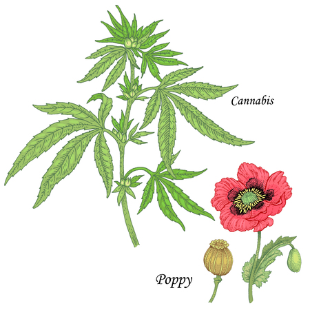 medicate: Cannabis, poppy. Set of herbs for alternative medicine. Isolated image plants and flowers on white background. Vector illustration. Illustration