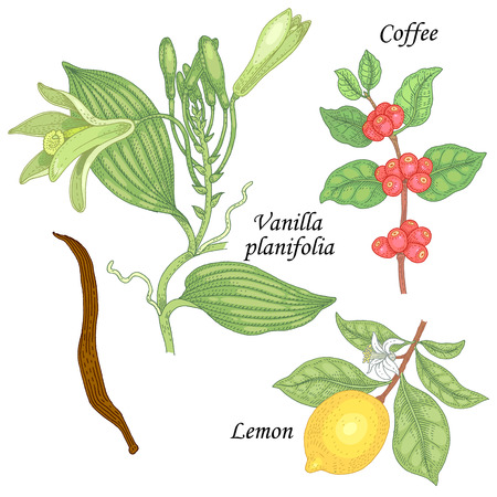 designation: Blooming Vanilla planifolia, branch of coffee tree, fruit lemon. Set of illustration plants, spice, fruits and flowers. Isolated image vanilla, lemon, coffee on white background.