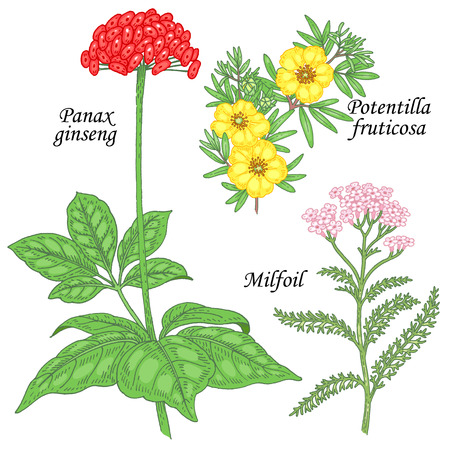 milfoil: Potentilla fruticosa, ginseng, yarrow, milfoil. Set of herbs for alternative medicine. Isolated image plants and flowers on white background. Vector illustration. Illustration