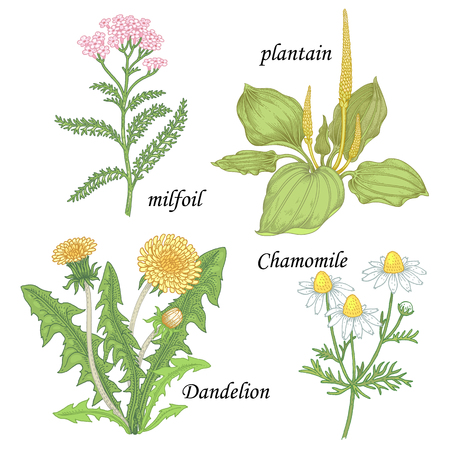 plantain: Chamomile, yarrow, dandelion, plantain, milfoil. Set of herbs for alternative medicine. Isolated image plants and flowers on white background. Vector illustration. Illustration