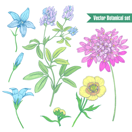 alfalfa: Set wildflowers isolated on a white background. Lucerne, buttercup, bell. Vector graphics. The design of the paper, packaging, printing, T-shirts, fabrics, textiles. Vintage.